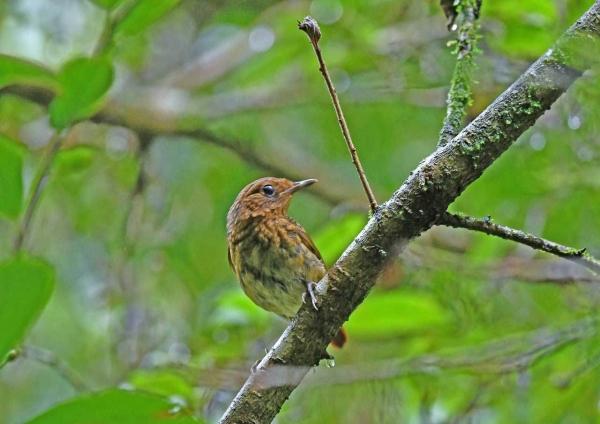 オオルリ幼鳥5 DTC_7856