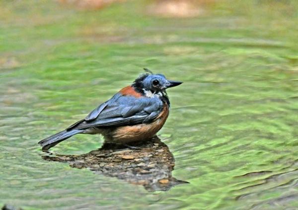 2ヤマガラ換羽水浴び DSY_353