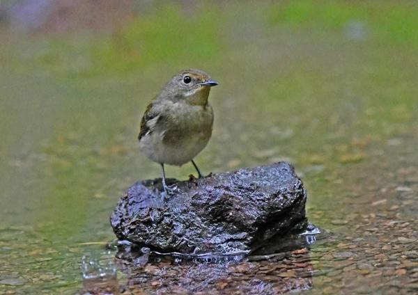キビタキ8幼鳥 DTC_7957