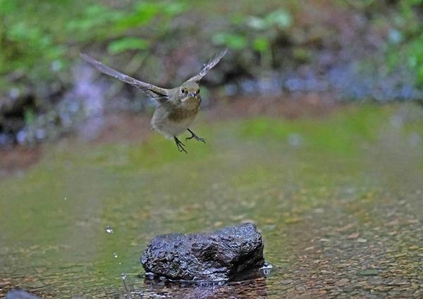 キビタキ幼鳥 DTC_7958