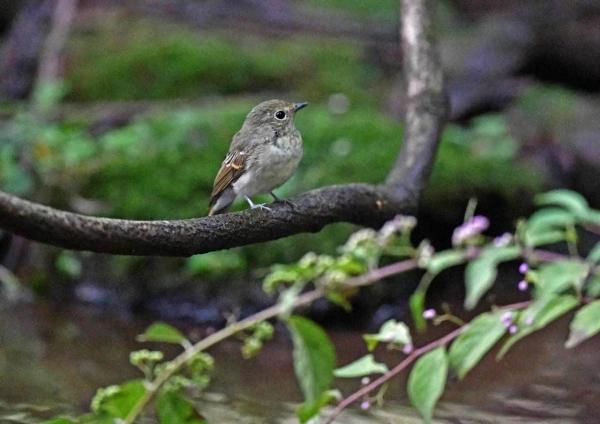 キビタキ幼鳥 DTC_8344