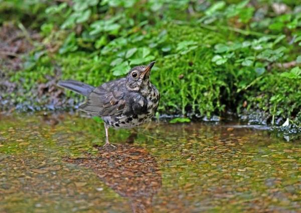 クロツグミ幼鳥水浴び1 DTB_9