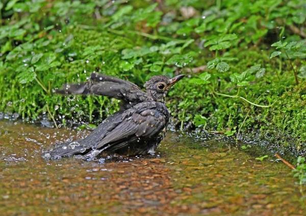 クロツグミ幼鳥水浴び3 _0012