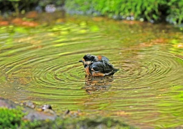 ヤマガラ11水浴び DTB_2641