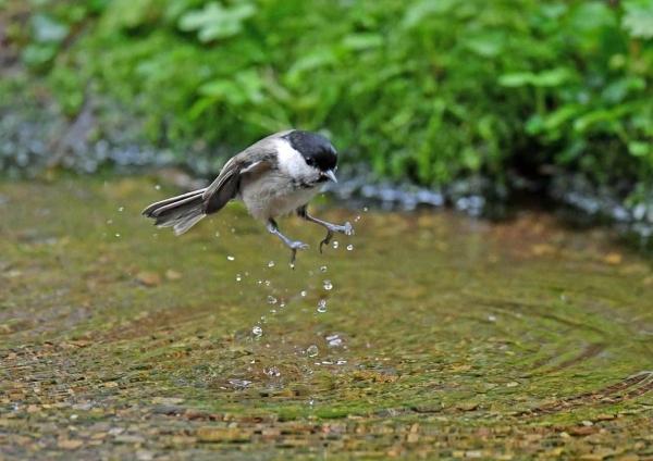 コガラ2水浴び DTC_8109