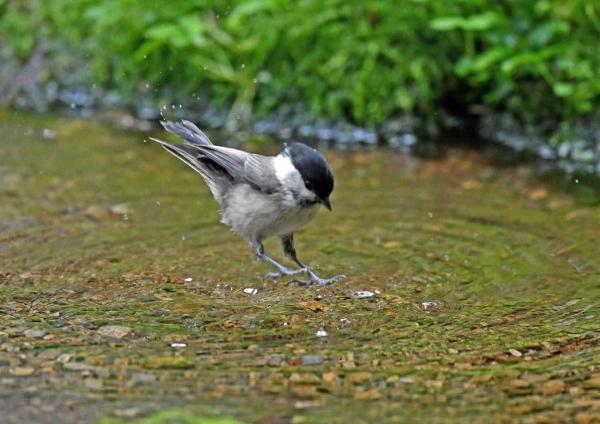 コガラ3水浴び DTC_8110