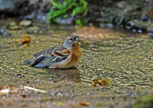 アトリ水浴び1 DTE_4555