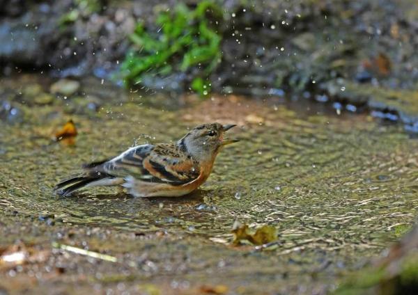 アトリ水浴び2 DTE_4574