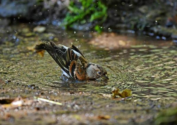 アトリ水浴び3 DTE_4545