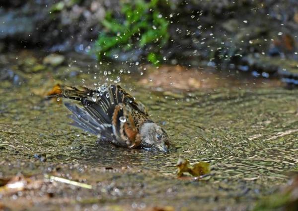 アトリ水浴び5 DTE_4547