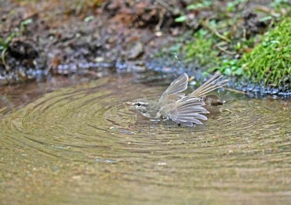ウグイス水浴び3 DTE_5395