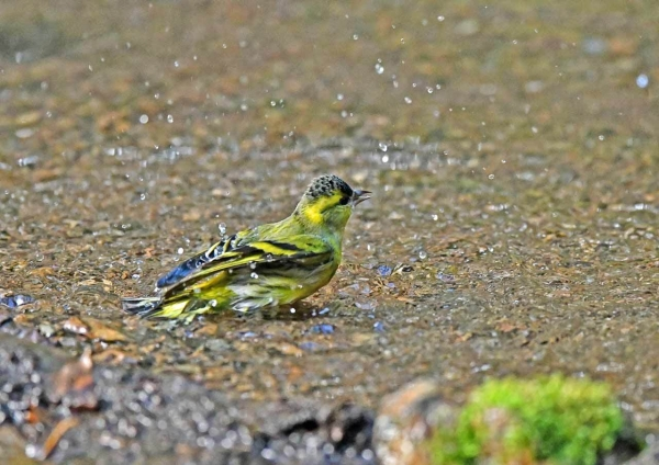 マヒワ水浴び1 DTE_6195