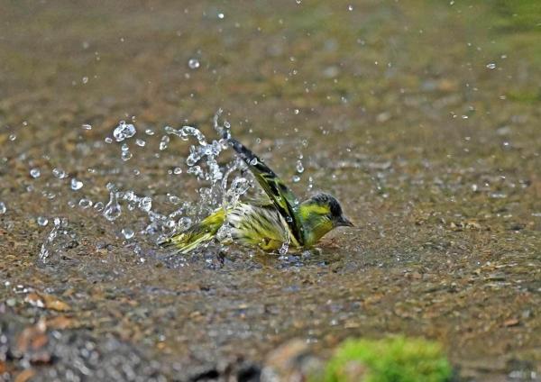 マヒワ水浴び2 DTE_6231