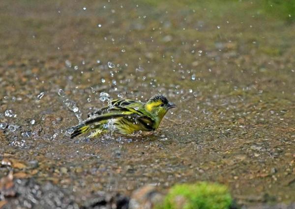マヒワ水浴び3 DTE_6232