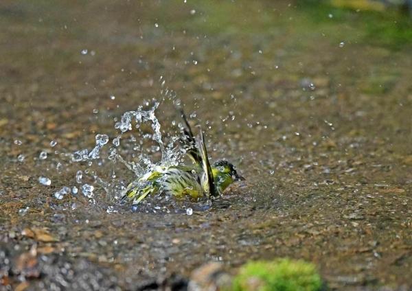 マヒワ水浴び4 DTE_6230