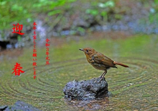 202年年賀コマドリ幼鳥 DTC_7836