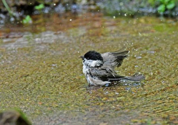 コガラ5水浴び DTD_1848