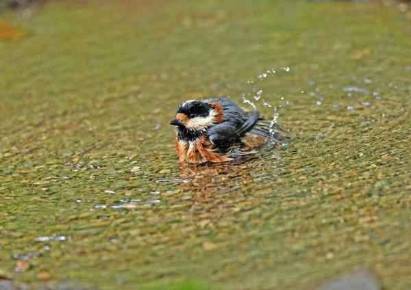 ヤマガラ5水浴び DTD_2047