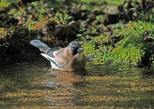 カケス水浴び1 DTE_5980