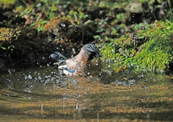 カケス水浴び2 DTE_5975