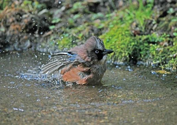 カケス水浴び3 DTE_6097