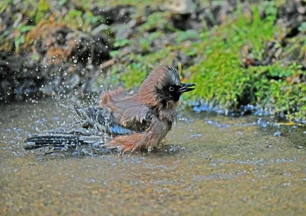 カケス水浴び4 DTE_6118