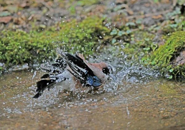 カケス水浴び5 DTG_0244