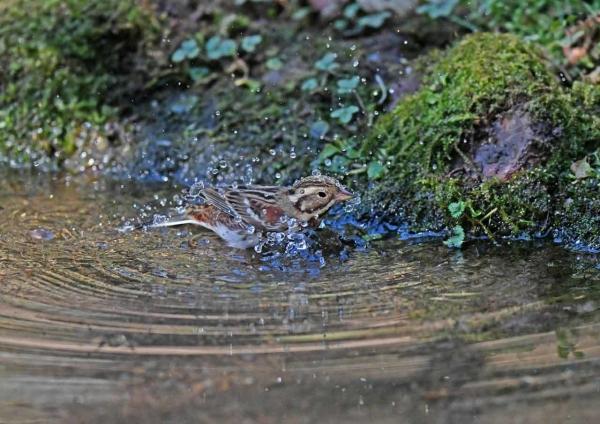 カシラダカ4水浴び DTG_1415