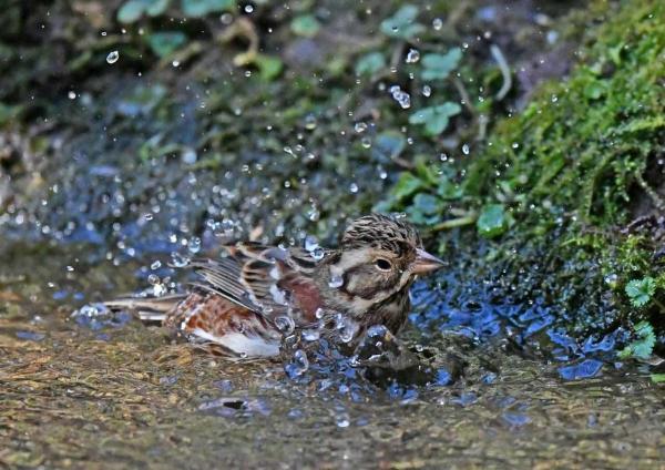 カシラダカ6水浴び DTG_1429