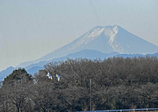 ハクチョウ5と富士山 DTG_775