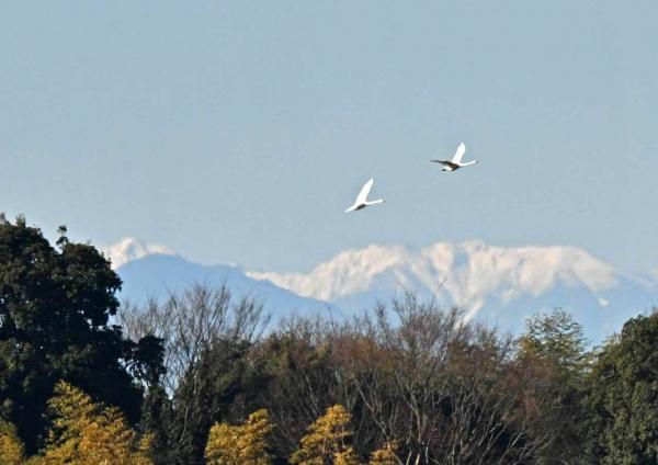 ハクチョウ6と雪山 DTG_7675