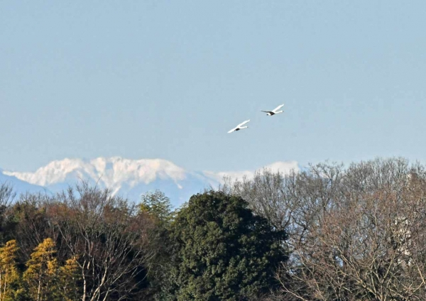 ハクチョウ7と雪山 DTG_7679