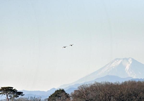 ハクチョウ15と富士山 DTG_733