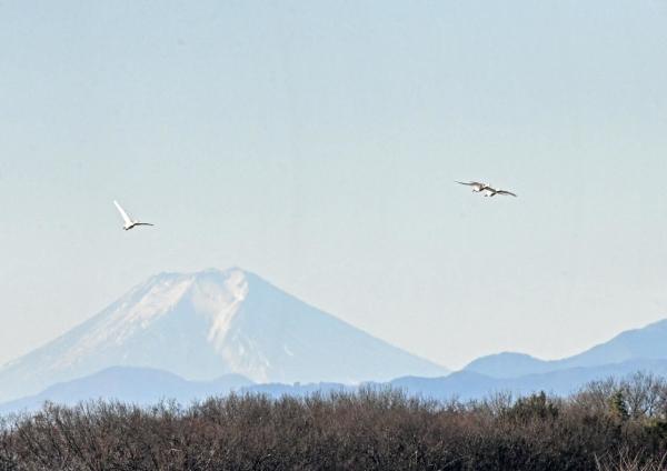 ハクチョウ16と富士山 DTG_762