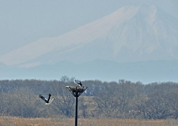 コウノトリ富士山 DTG_9657