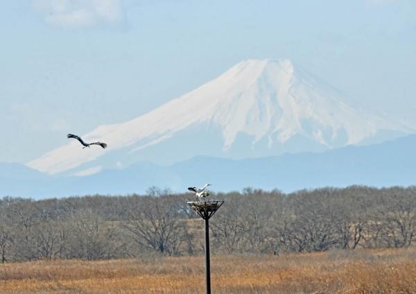 コウノトリ富士山 DTF_7318