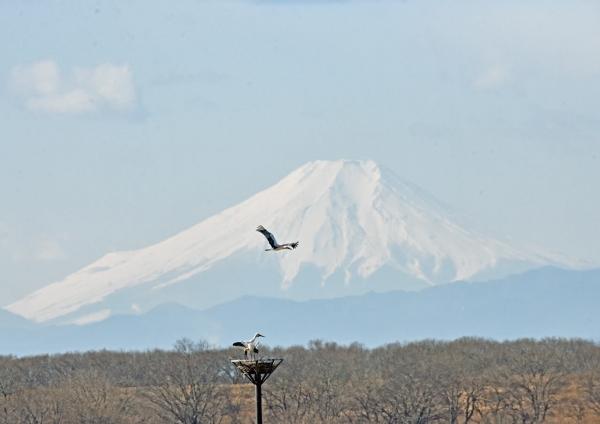 コウノトリ富士山 DTF_7321