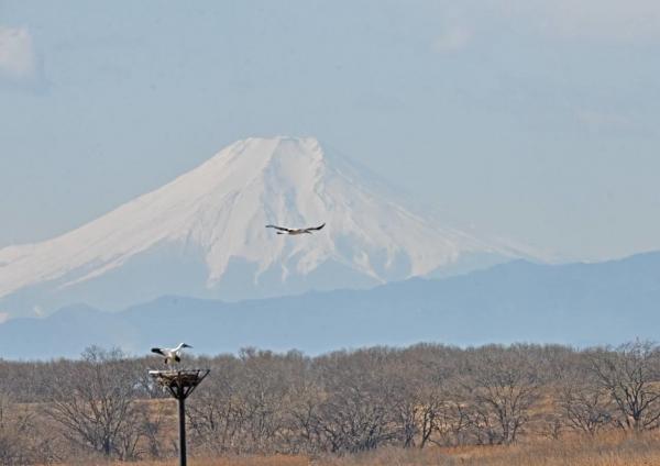 コウノトリ富士山 DTF_7324
