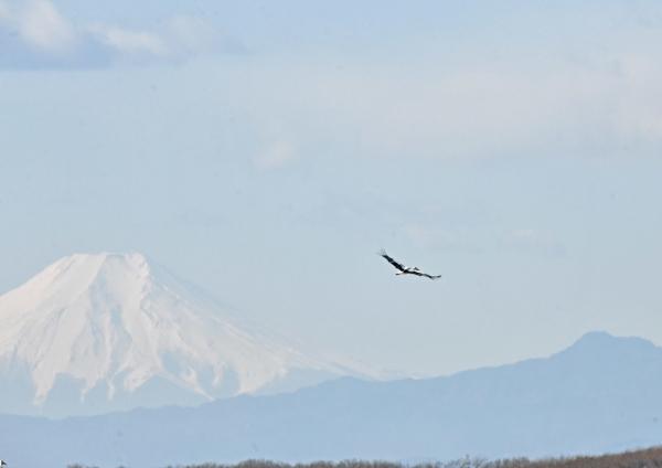 コウノトリ富士山 DTF_7328