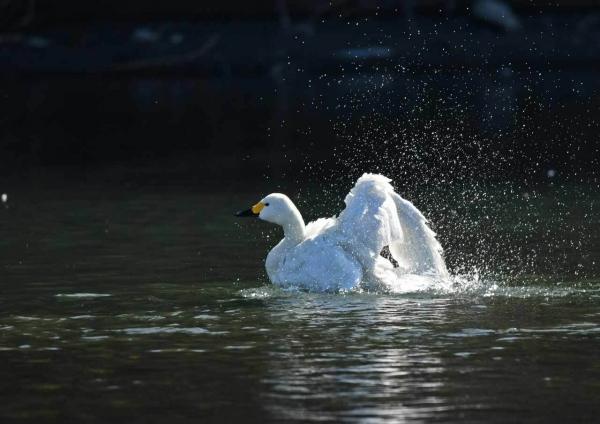 コハクチョウ水4浴 DTF_8526