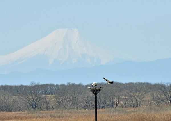 コウノトリ富士山 DTF_3077