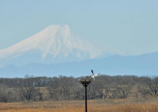 コウノトリ富士山 DTF_3096