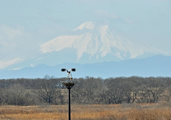 コウノトリ富士山 DTF_7394