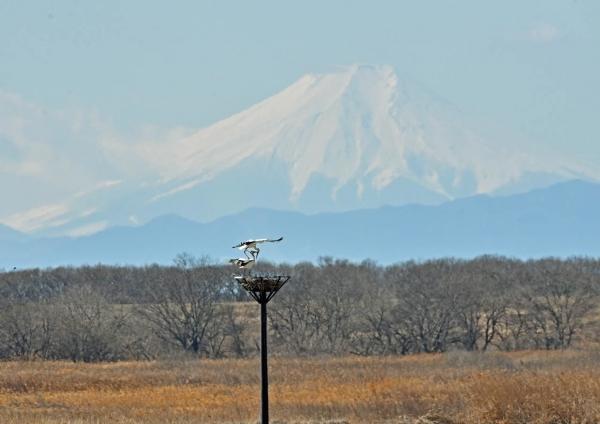 コウノトリ富士山 DTF_7480