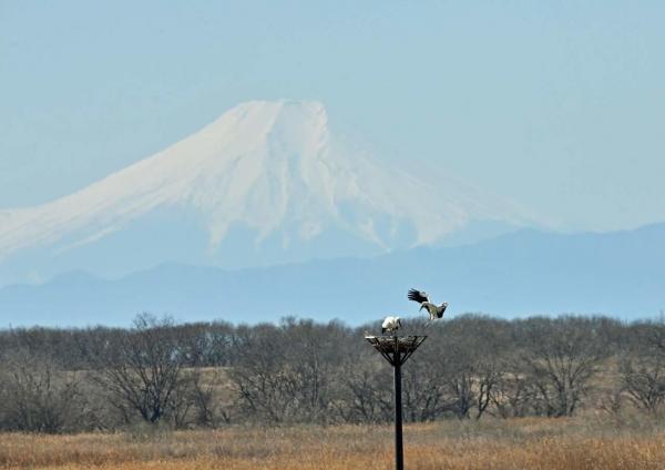 コウノトリ富士山1 DTF_3078