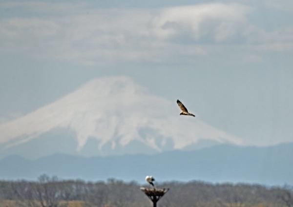 チュウヒ富士山 DTG_0108