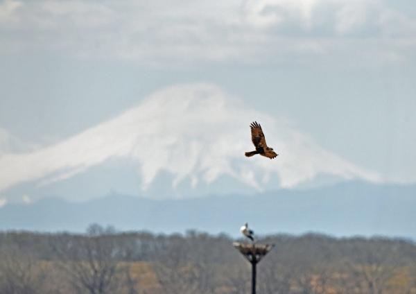 チュウヒ富士山 DTG_0125