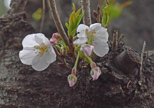 桜マクロレンズ DSF_9966
