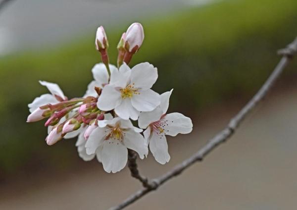桜マクロレンズ DSF_9997