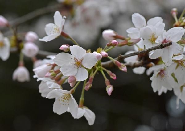 桜マクロレンズ DSF_9999